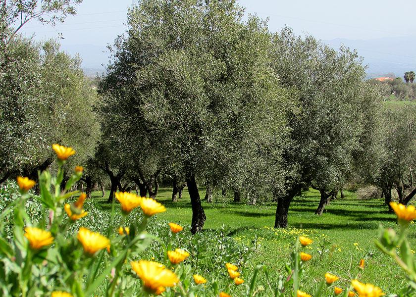 """Olivenöl  """"Kalavrì"""" - Azienda Agricola Restuccia (1 l)"""