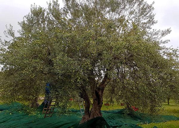 "0,25 l Bio-Olivenöl ""Cacyrum"""